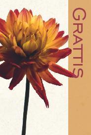 Gul/orange dahlia med texten ''Grattis''