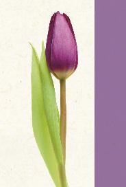 Ljust kort med lila tulpan