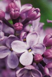 Lila blommor i närbild