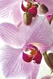 Lila Orkideé