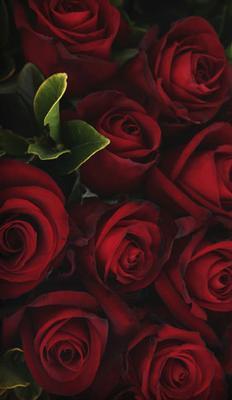 Mörkröda rosor, textfri