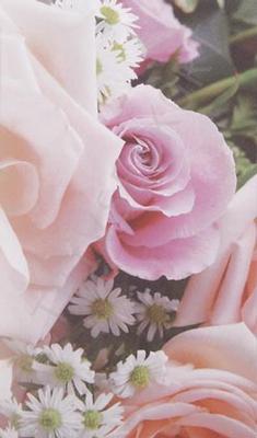 Rosa rosor textfri