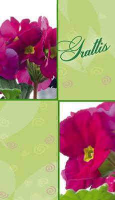 Grönt kort med lila pelargonia