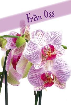 Lila/rosa orkideé  från oss