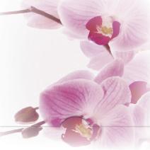 Fotograferad Rosa orkidé