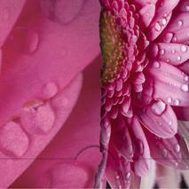 ''Avrivet'' rosa gerbera