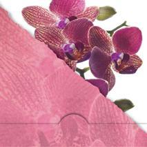 '' Avrivet '' orkidé