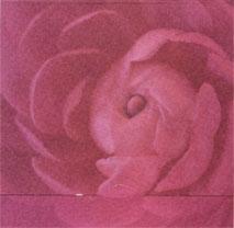 Närbild på rosa blomma, textfri