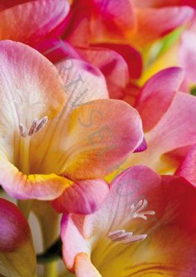 Blommor Ros textfri