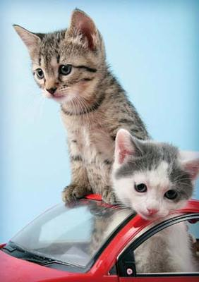 A4 Vykort Katter i bil