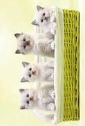 Kattungar i korg, utan text