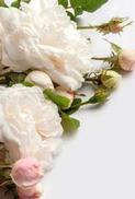 Minikort Rosa Vita Rosor knoppar, Textfri