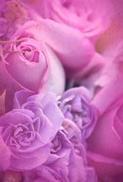 Lila rosor, Textfri
